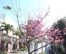 sakura-okinawacity