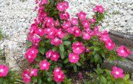 ピンクの花ブログ用1
